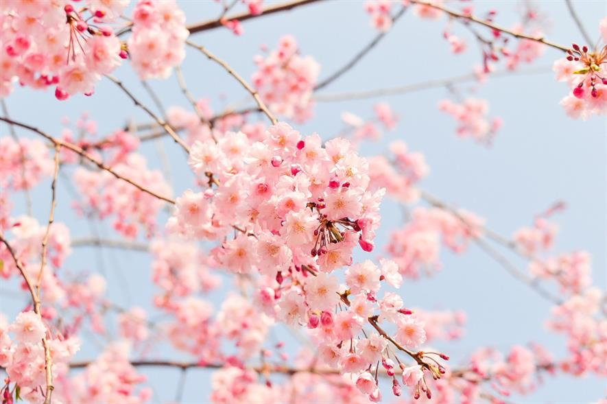 The National Trust launched the #BlossomWatch campaign to emulate Japan's traditional blossom celebration Hanami - credit: Pixabay