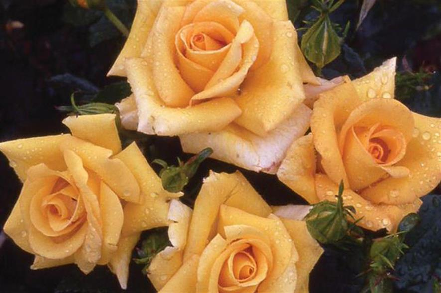 Floribunda rose - image: Chessum Roses via Twitter