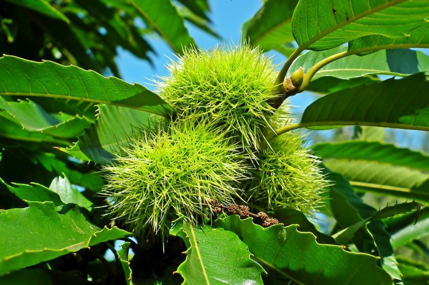 Sweet Chestnut - credit: Pixabay