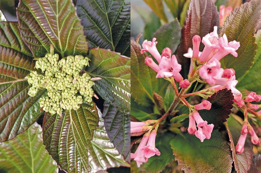 Left: Viburnum Shiny Dancer, a hybrid involving three different species/Right: Viburnum Sweet Talker, set to be released in Europe next spring. Credit: ©Proven Winners