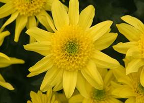 Yellow jersey flowers