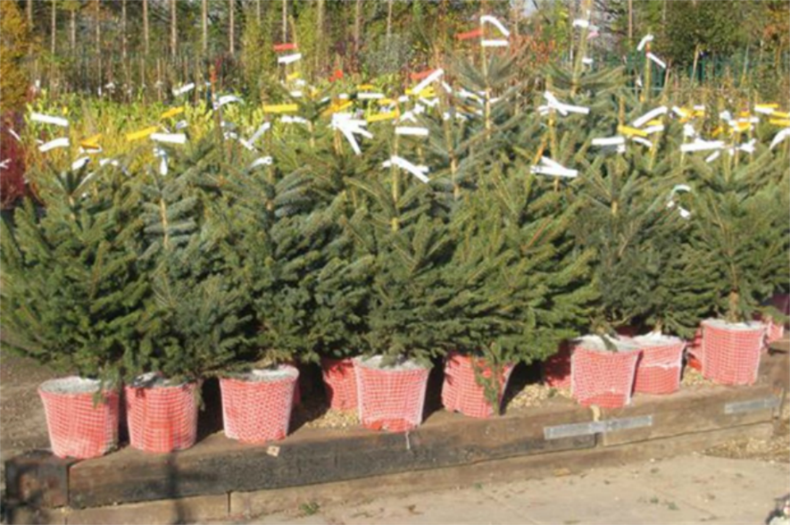 Garden centre potted Christmas trees
