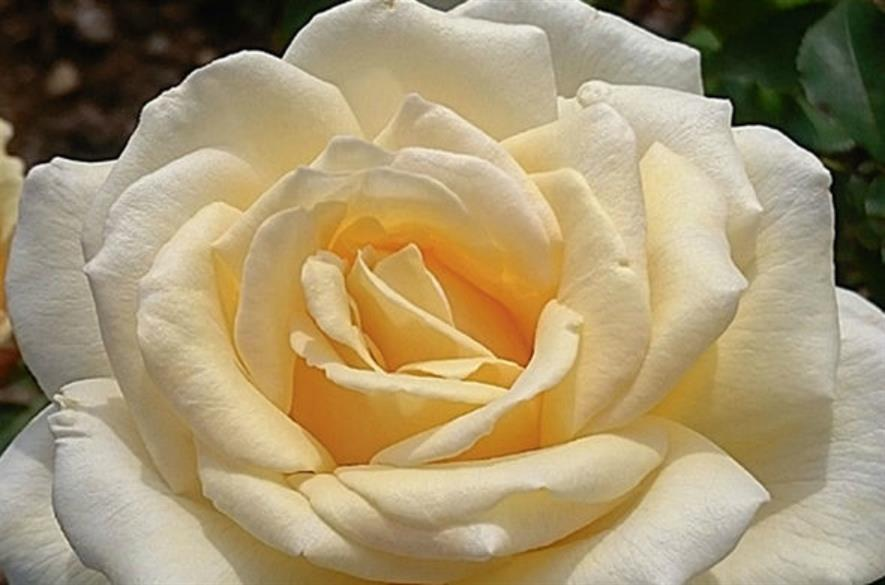 Mary Berry rose - credit: Harkness Roses
