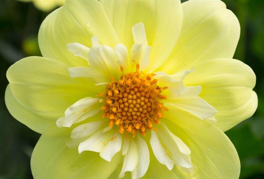 Dahlia 'Lemon Sherbert'