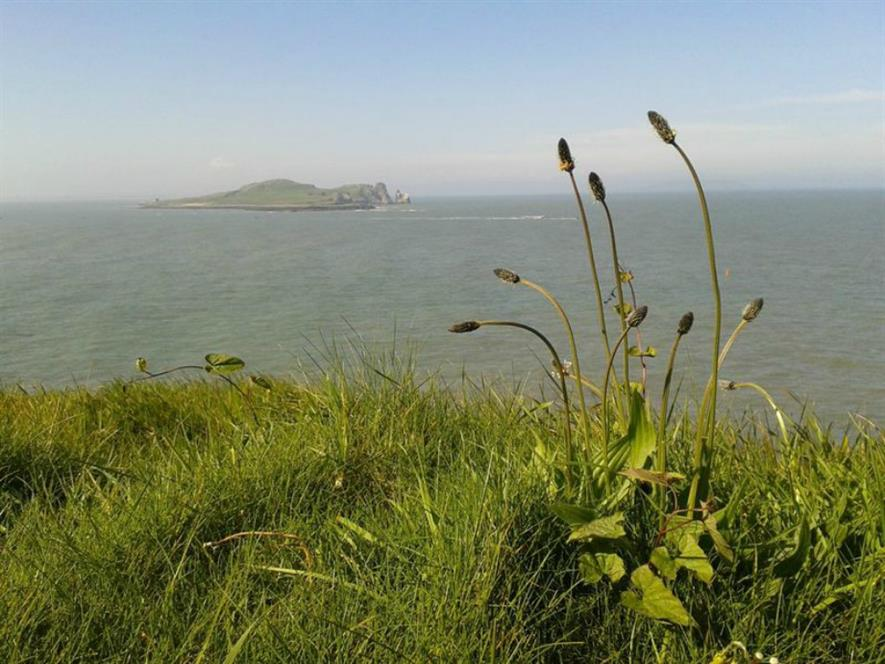 Plantago in Howth, Ireland - Image Credit Anna Csergo: A Plantago plant on Howth Head,  Ireland; this species is one of the near 600 for which researchers have gathered life history