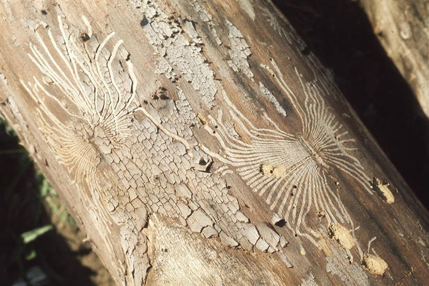 Tunnels made by elm bark beetle under elm bark. Image: Flickr/Dr Mary Gillham Archive Project (CC by 2.0)