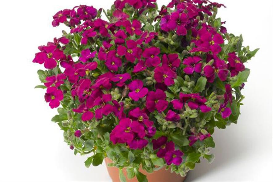 Aubretia F1 Audrey Red - image: Earley Ornamentals
