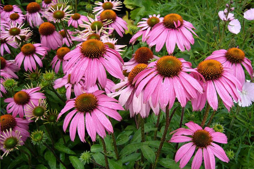 Echinacea - credit: Pixabay