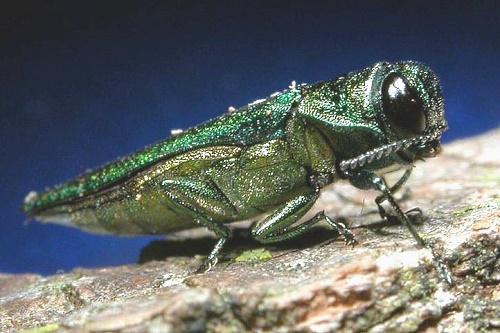 Emerald ash borer - image:USDAgov