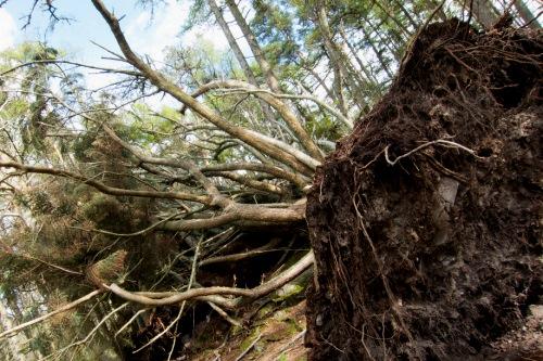 Storm-blown tree - image: Stefan Magdalinski