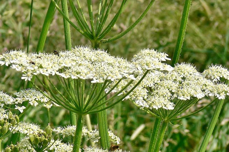Giant hogweed - credit: Pixabay
