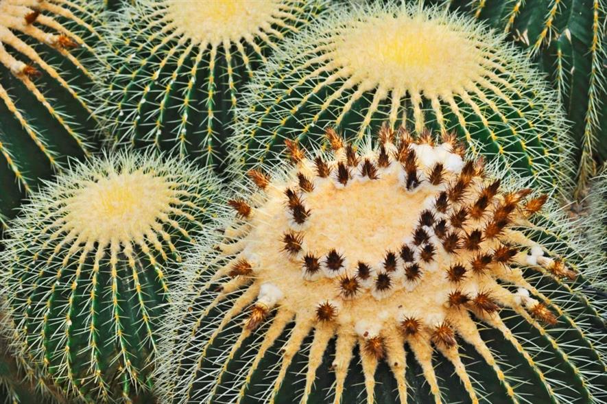 Golden Barrel cactus. Image: MorgueFile