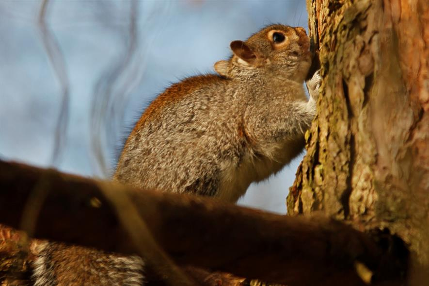 Grey squirrels strip tree bark, particularly on broadleaved species - credit: RFS