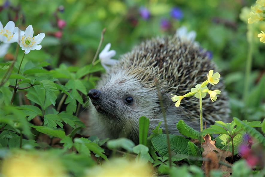 Hedgehog in garden. Image: Pixabay