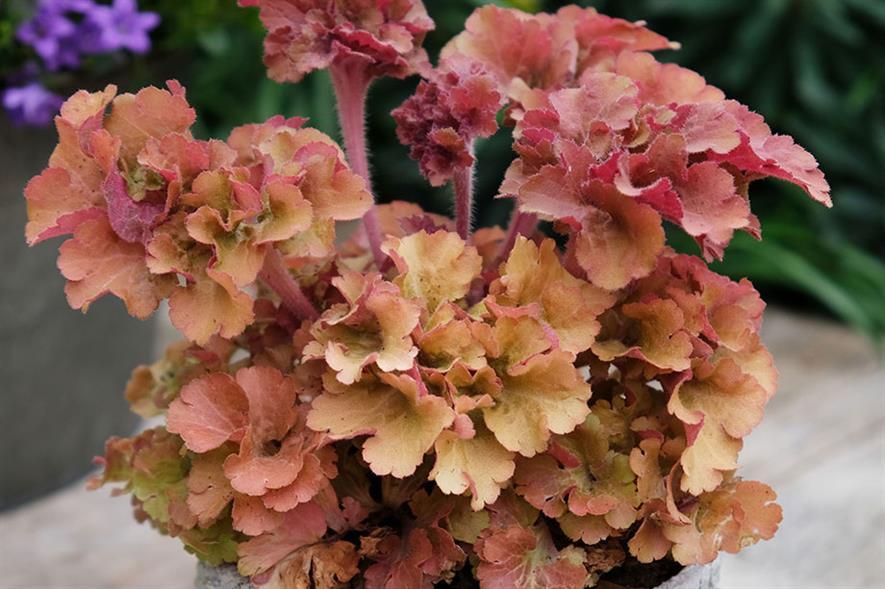 Heuchura 'Frilly' (credit: Genesis Plant Marketing)