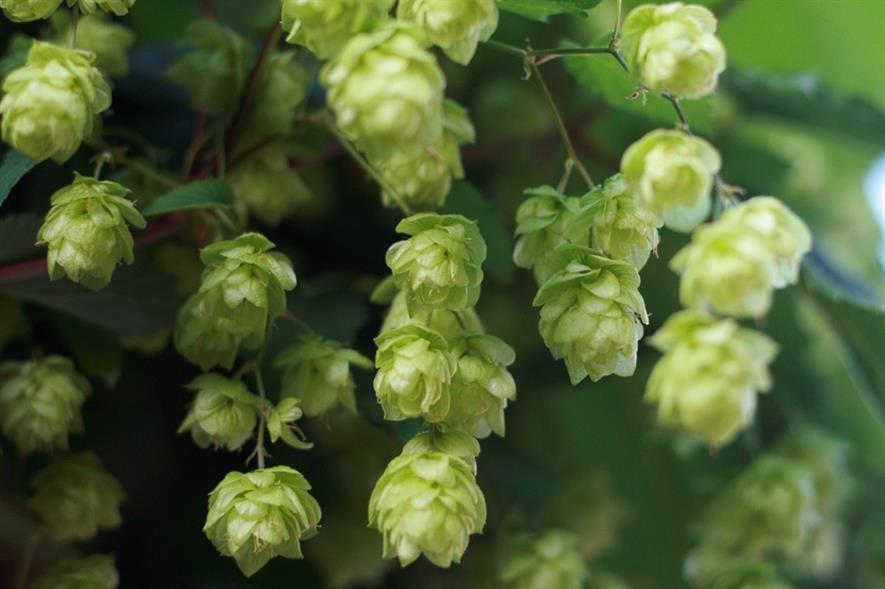 Hops. Image: Paul Miller
