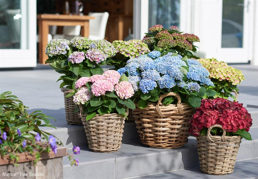 Hydrangea Magical Magical Four Seasons