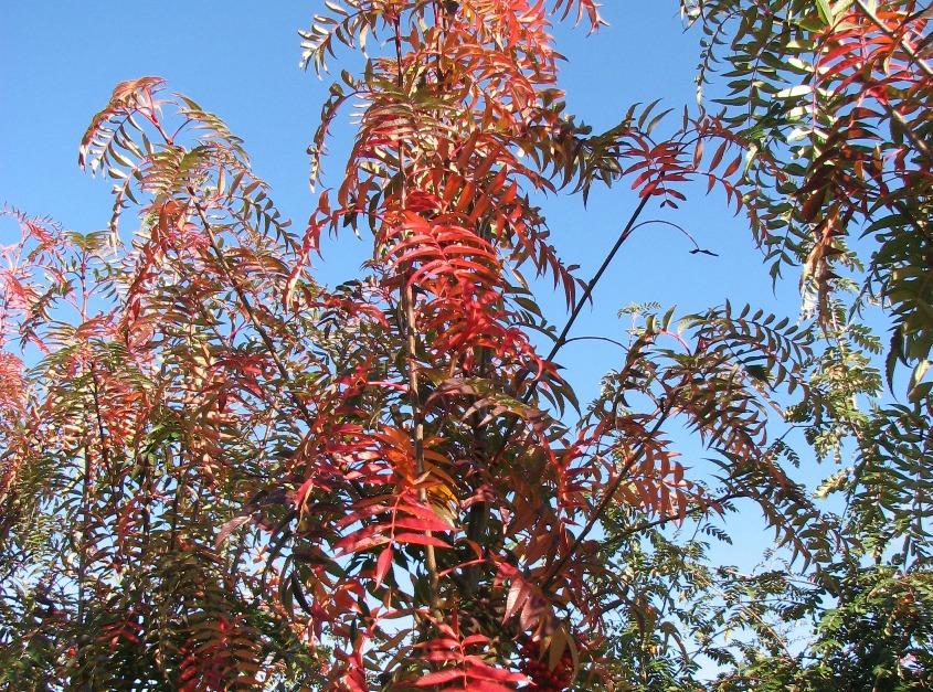 Sorbus commixta 'Olympic Flame'.