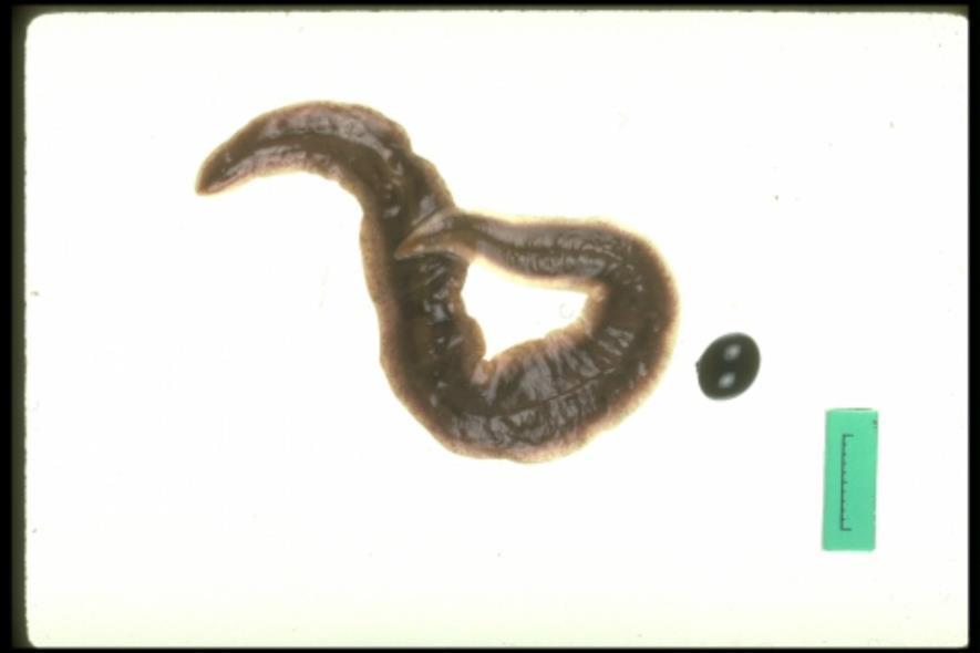 New Zealand flatworm-OPAL