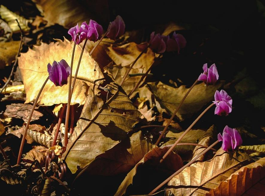 Individual hardy perennial: Richard Ford 'Cyclamen hederifolium' Richard Ford of Kesgrove, Ipswich photo competition winner