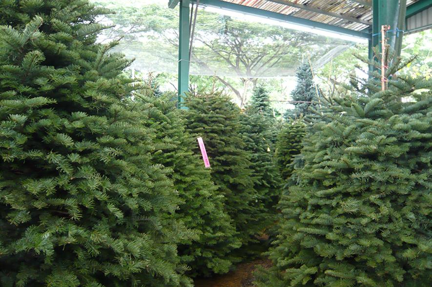 Christmas trees: overall quality of trees is good (Pic: kfcatles/Flickr.com)