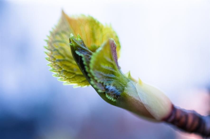 Leaves unfolding - credit: Pixabay