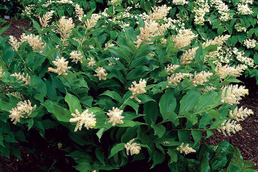 Maianthemum racemosum - all images: Floramedia