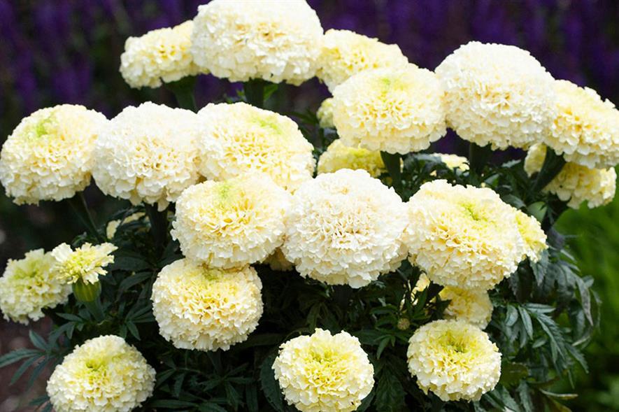 Marigold White Gold Max - credit: Earley Ornamentals