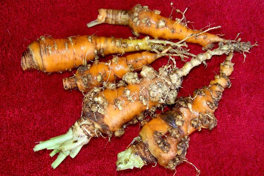 Root-knot nematode damage to carrots - image: Scot Nelson