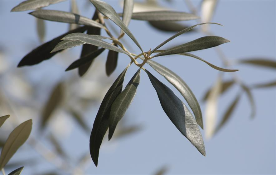 Olive groves beckon - Image: Rosevita@Morguefile