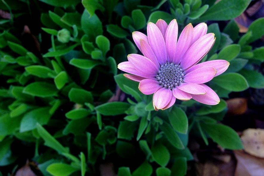Osteospermum. Image: MorgueFile