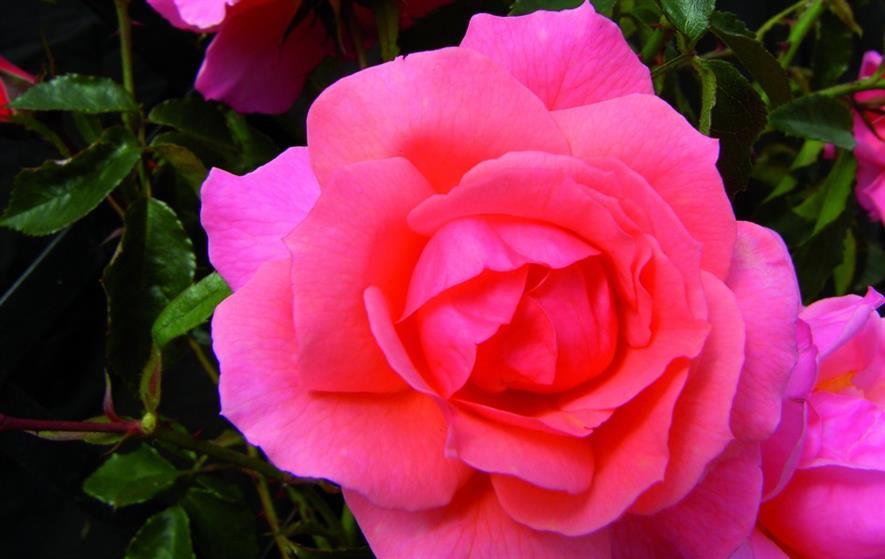 Margaret Greville - image: Peter Beales Roses