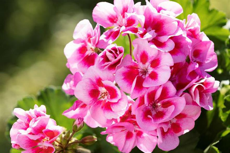 Pelargoniums Marketing Campaign Launched Horticulture Week