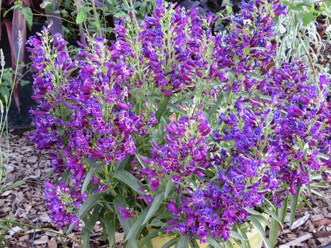 Penstemon Purple Perfection - image: Plantipp