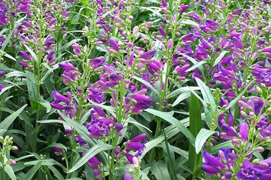 Penstemon Pristine Lila Purple - image: Allensmore