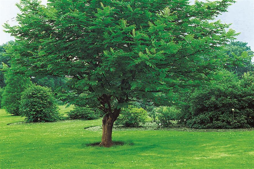 Pterocarya: a tree that is rarely planted in the UK