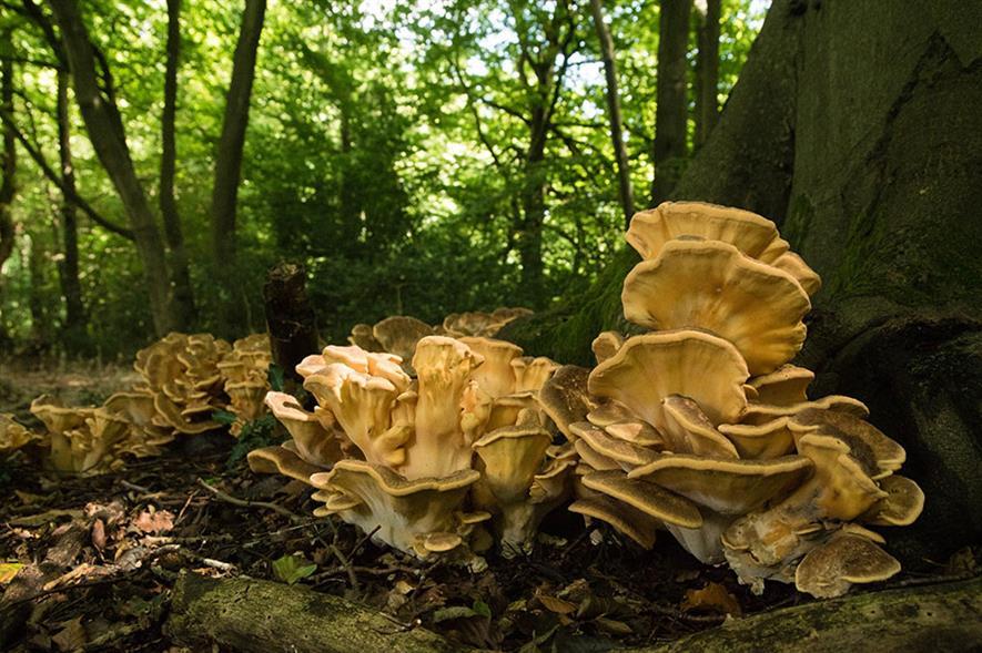 Giant polypore - image: Flickr/Derek Winterburn (CC BY-ND 2.0)