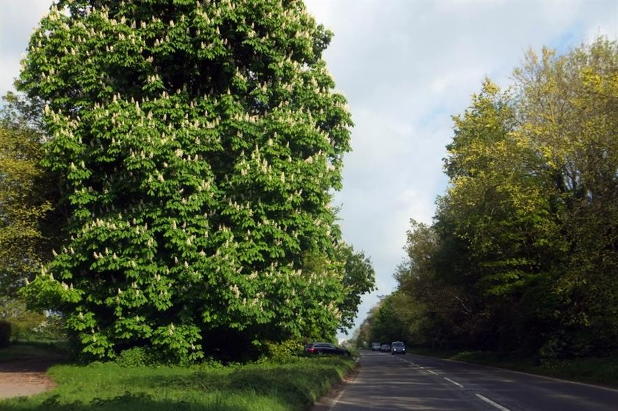 A roadside horse chestnut in West Sussex - image: David Smith (CC BY-SA 2.0)