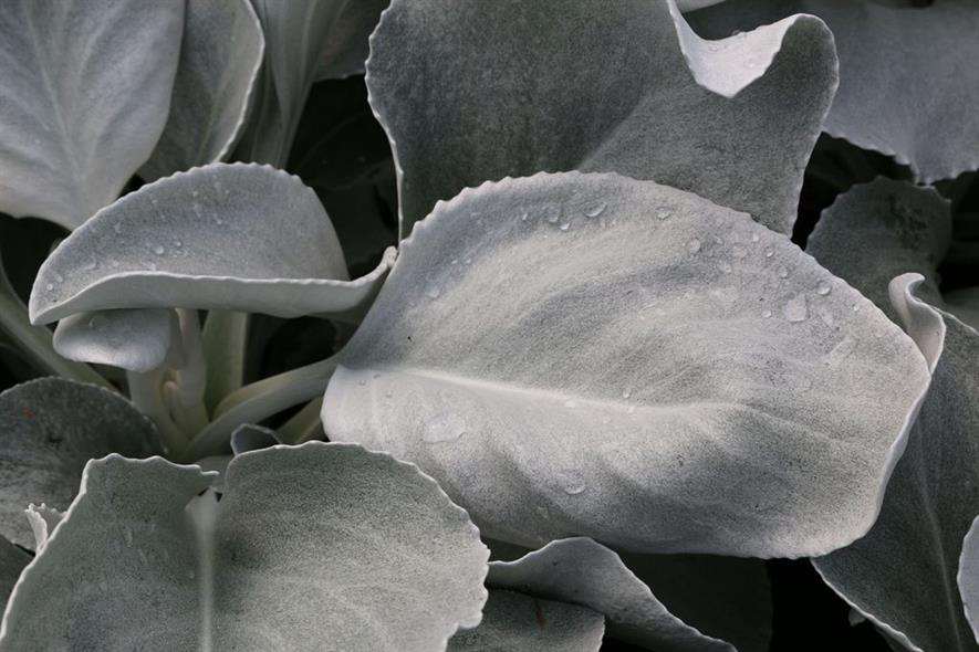 Senecio 'Angel Wings'