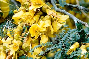 Sophora tetraptera AGM - photo: Adrian Thomas