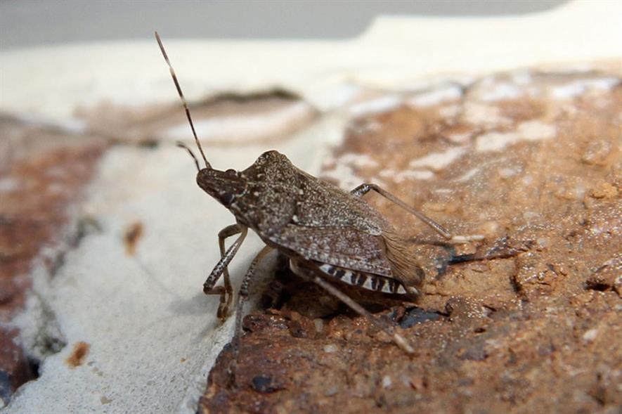 Stink bug - image: FlickR/Sh4rp_i