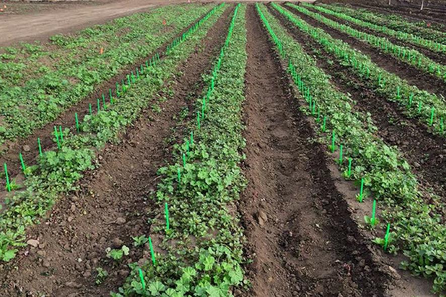 """Young lettuce plants with """"crop signalling"""" straws - image: University of California"""