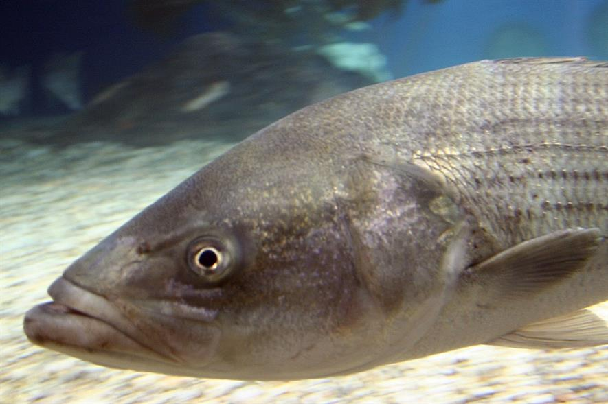 Striped bass - image: Maritime Aquarium at Norwalk