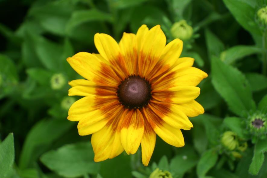 Summerina Yellow