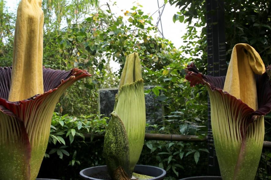 Corpse flowers in bloom at the Eden Project. Image: Supplied