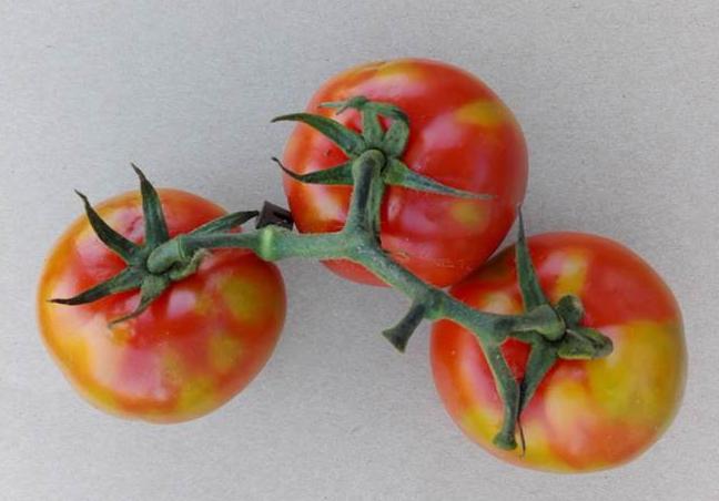 Symptoms of tomato brown rugose fruit virus - Dr Wulf Menzel