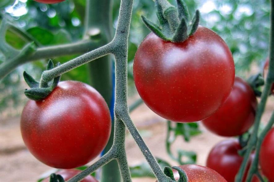 The Rosella tomato - image: Gourmet Genetics