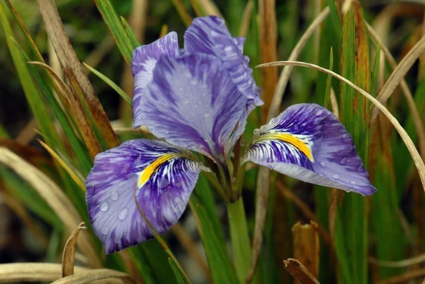Iris unguicularis 'Kilbroney Marble' - credit: Paddy Tobin/Irish Garden Plant Society