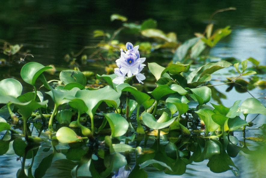 Common water hyacinth (Eichhornia crassipes) in flower. Credit: Ted Center. - USDA