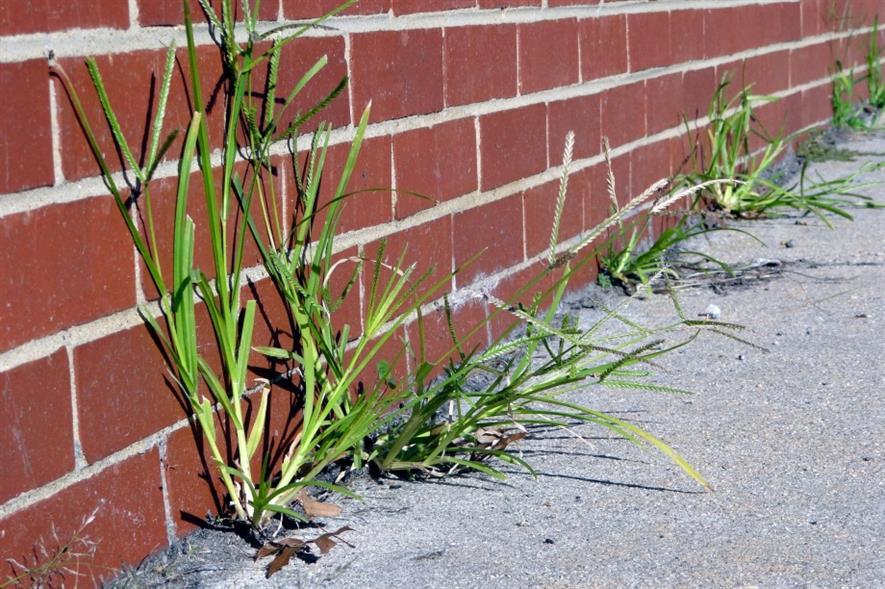 Weeds in footpath. Image: Morgue File